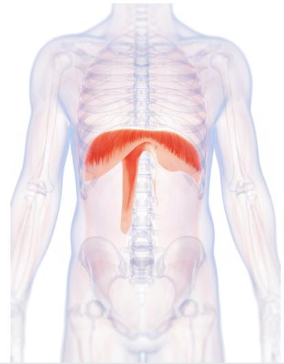anatomical photo of diaphragm
